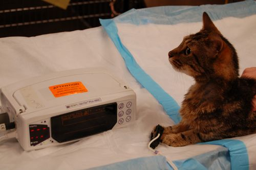 Pulse oximeter on cat 2 small.jpeg